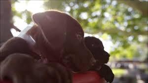 Chocolate Lab Meme - chocolate lab dog gif find share on giphy