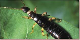 top ten worst pest is the earwig