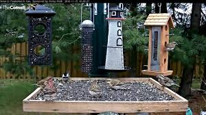 purple finches have their turn in ontario nov 15 2016 youtube