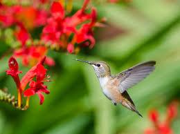 anna u0027s hummingbird u2013 mendonoma sightings