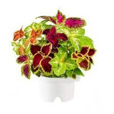 Click And Grow Refills Bibit Bunga Dahlia Merah Tanaman Hias Bunga Pinterest Dahlia