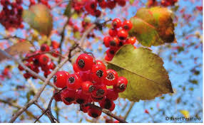 native plants in massachusetts hawthorn berries identify harvest and make an extract