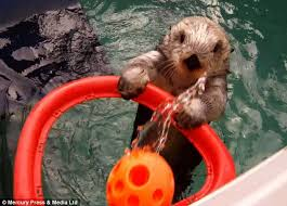 Cumberbatch Otter Meme - oregon zoo s eddie the otter becomes basketball star in cure for