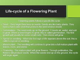 Life Cycle Of A Flowering Plant - flowering plants by emily fulcher ppt download