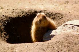you can catch groundhogs yourself but you may not want to triblive