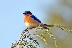 Utah birds images Utah bird profile eastern bluebird jpg