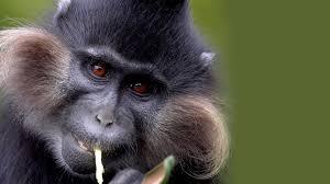 mangabey san diego zoo animals u0026 plants