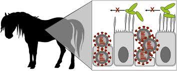 equine influenza virus veterinary clinics equine practice