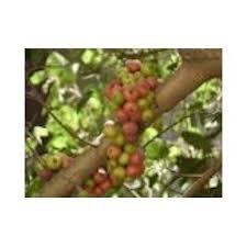 cluster fig tree at rs 190 kilogram s medicinal plants mylal