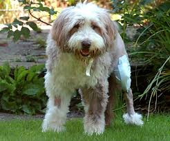 bearded collie montreal pet owners pay 5 000 for collie to have the uk u0027s first canine