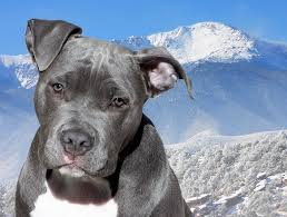 american stanford terrier y american pitbull terrier razas de perros american pitbull terrier caracteristicas dogalize