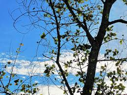 free photo sky bare tree sparse blue tree branches leaves max pixel