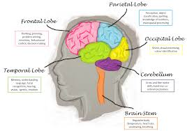 brain anatomy coloring book best 20 brain lobes and functions ideas on pinterest function