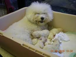 1 week old bichon frise animals that give pause bichon frise puppies pictures