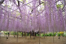 Ashikaga Flower Park by Fuji F30 Picture Diary D700 Wisteria In Ashikaga Flower Park May