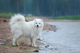 american eskimo dog japanese spitz difference how well can you identify commonly confused dog breeds