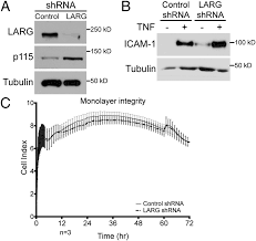 the rhoa guanine nucleotide exchange factor larg mediates icam 1