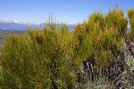 plants native to michigan plants profile for ephedra viridis mormon tea