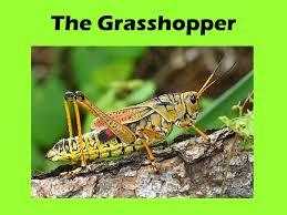 the grasshopper ppt video online download
