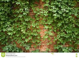 red old brick wall with climbing plants stock photo image 75046960