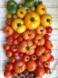 how to grow a tomato garden diy