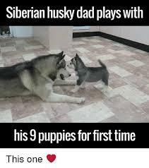 Husky Meme - 25 best memes about siberian husky siberian husky memes