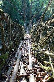 the living bridges of meghalaya india are made from the roots of