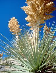 desert native plants wild edible plants in arizona from semi arid to desert arizona