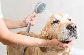 afghan hound dogs 101 dogs 101 dog shampoo dogtime