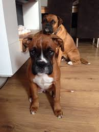 boxer dog 2 months old 2 months boxer dog kamo is 3 months old boxer forum boxer