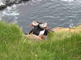 file atlantic puffin latrabjarg iceland 05 jpg wikimedia commons