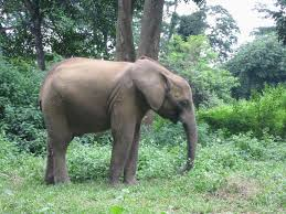 study of african forest elephants helps guide research efforts in