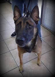 belgian shepherd louisiana dr visser u0027s pet dental cases vetdentists com