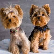 yorkie haircuts pictures only yorkies yorkie pinterest yorkies yorkshire terrier and dog