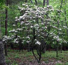 broadleaf evergreen trees trees for sale rhododendron roseum