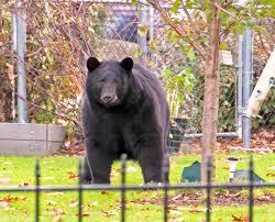honey there u0027s a bear in the backyard boston herald