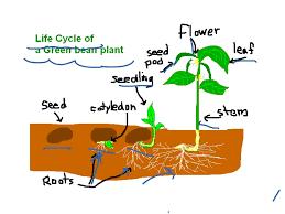 showme life cycle of a orange tree