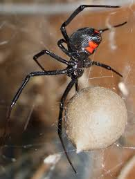 black widow extermination black widow removal central pa