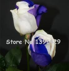 white roses for sale 11 11 on sale amazingly blue white roses flowers potted
