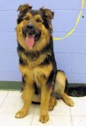 australian shepherd with german shepherd east german shepherd breeders ddr east german shepherds for sale