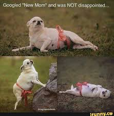 Disappointed Dog Meme - dog maternity photoshoot funnies pinterest dog and humor