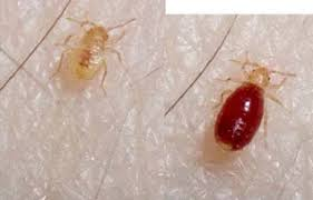 light bed bug infestation traveler q a preventing bed bugs from hitchhiking to your home
