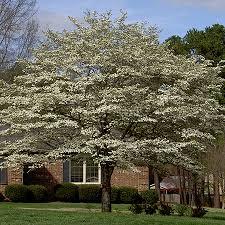 white dogwood tree white flowering dogwood trees for sale fast