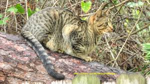 feral cat in the woods cat camouflage youtube