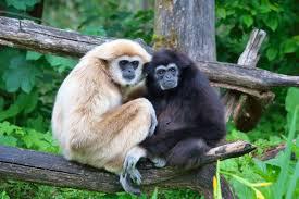 haloween images gibbon wikipedia