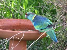mallee ringneck parrots trevor u0027s birding