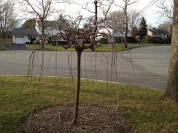 decorative trees for home pruning and designing ornamental trees for the winter landscape in