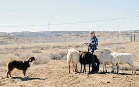 australian shepherd herding sheep our sheep herder u0027 u2013 navajo times