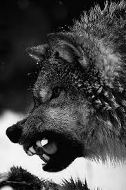 Angry Wolf Meme - snarling memes image memes at relatably com