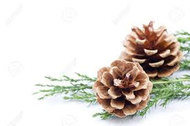 white pine cone pine cone border isolated on white stock photo picture and